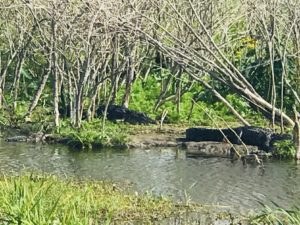 lazy banked alligators