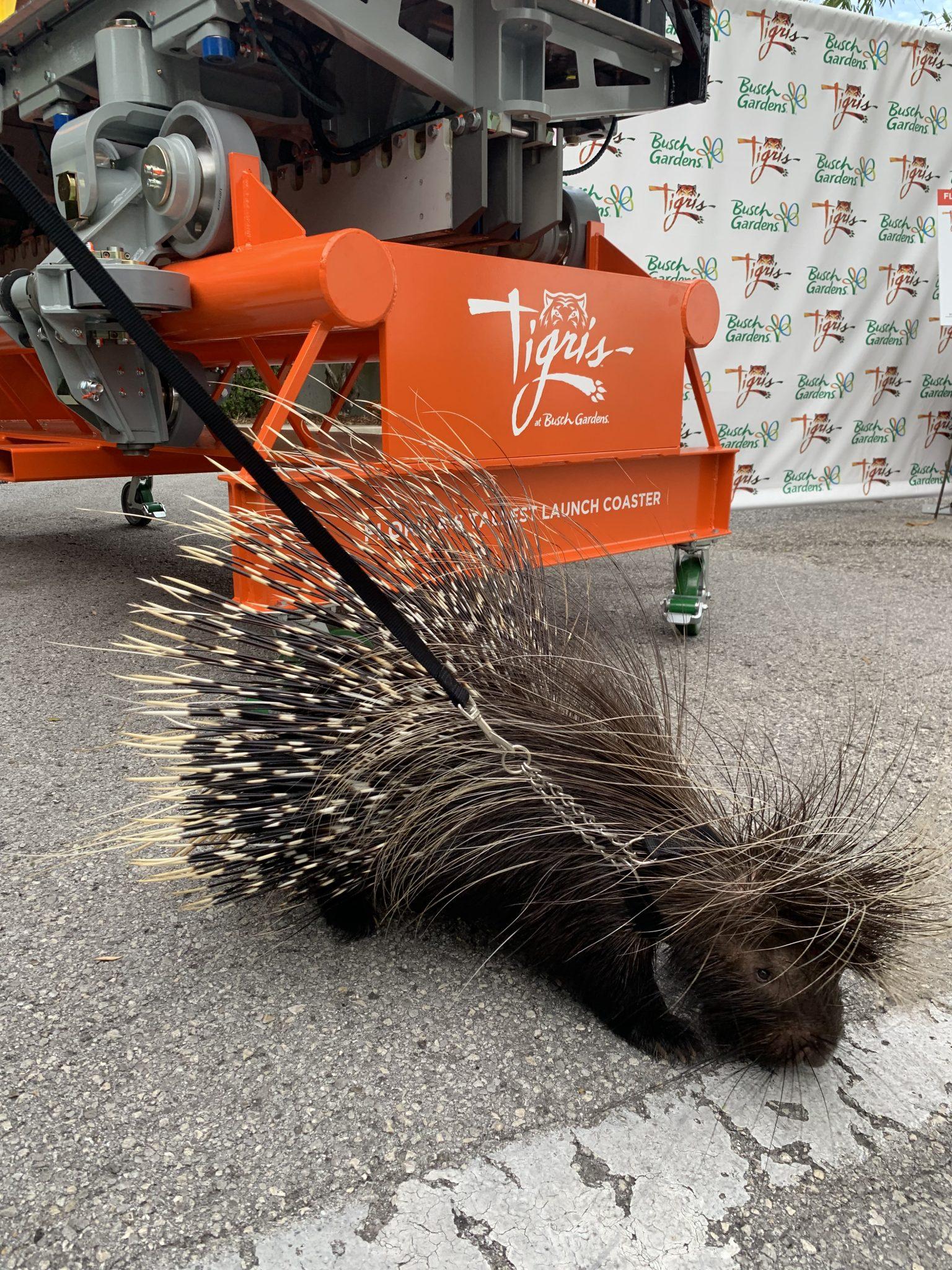 Kimami Busch Gardens Tampa Bay's porcupine