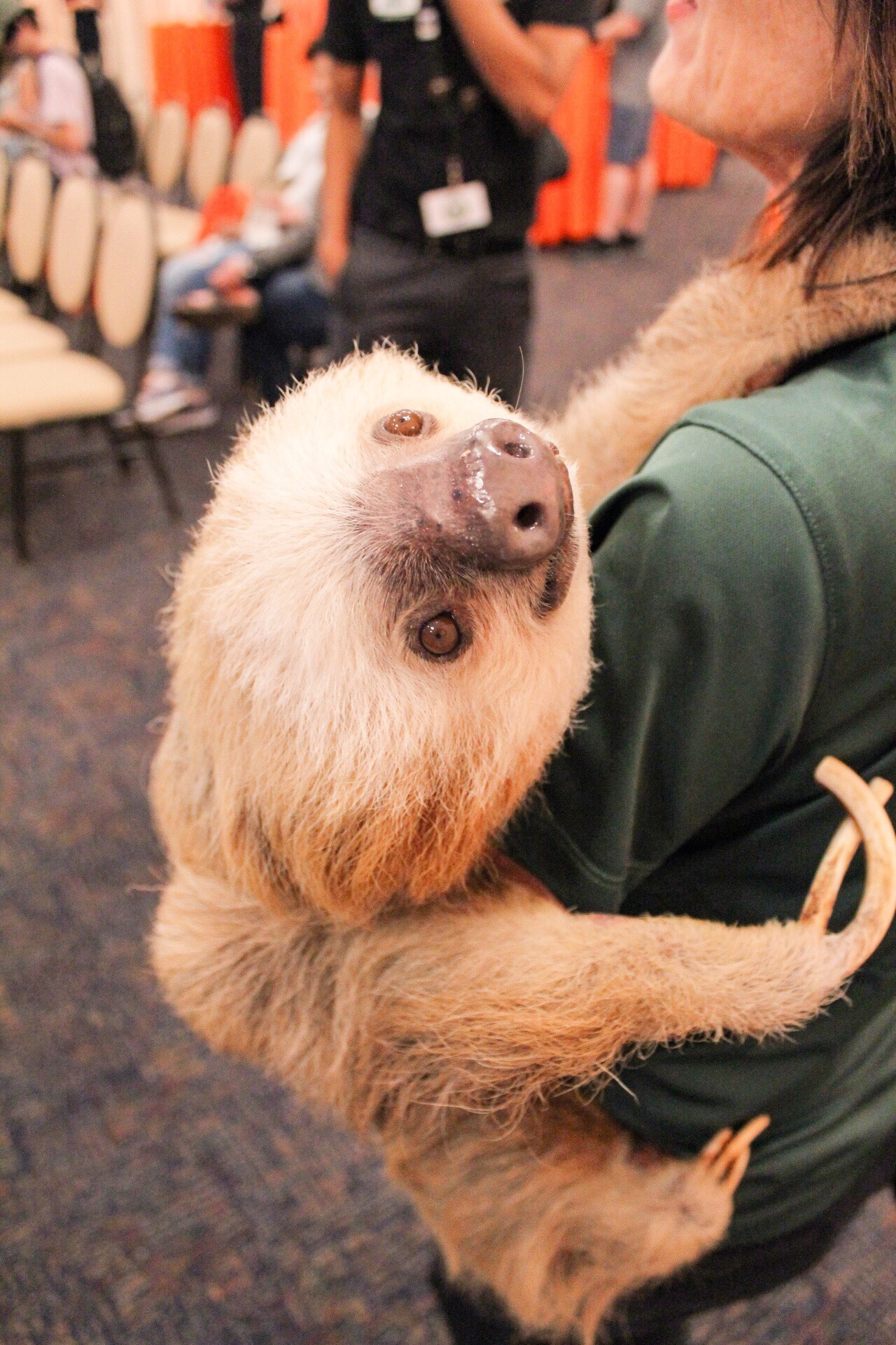 Sloth at Busch Gardens Tampa Bay Animal Ambassador