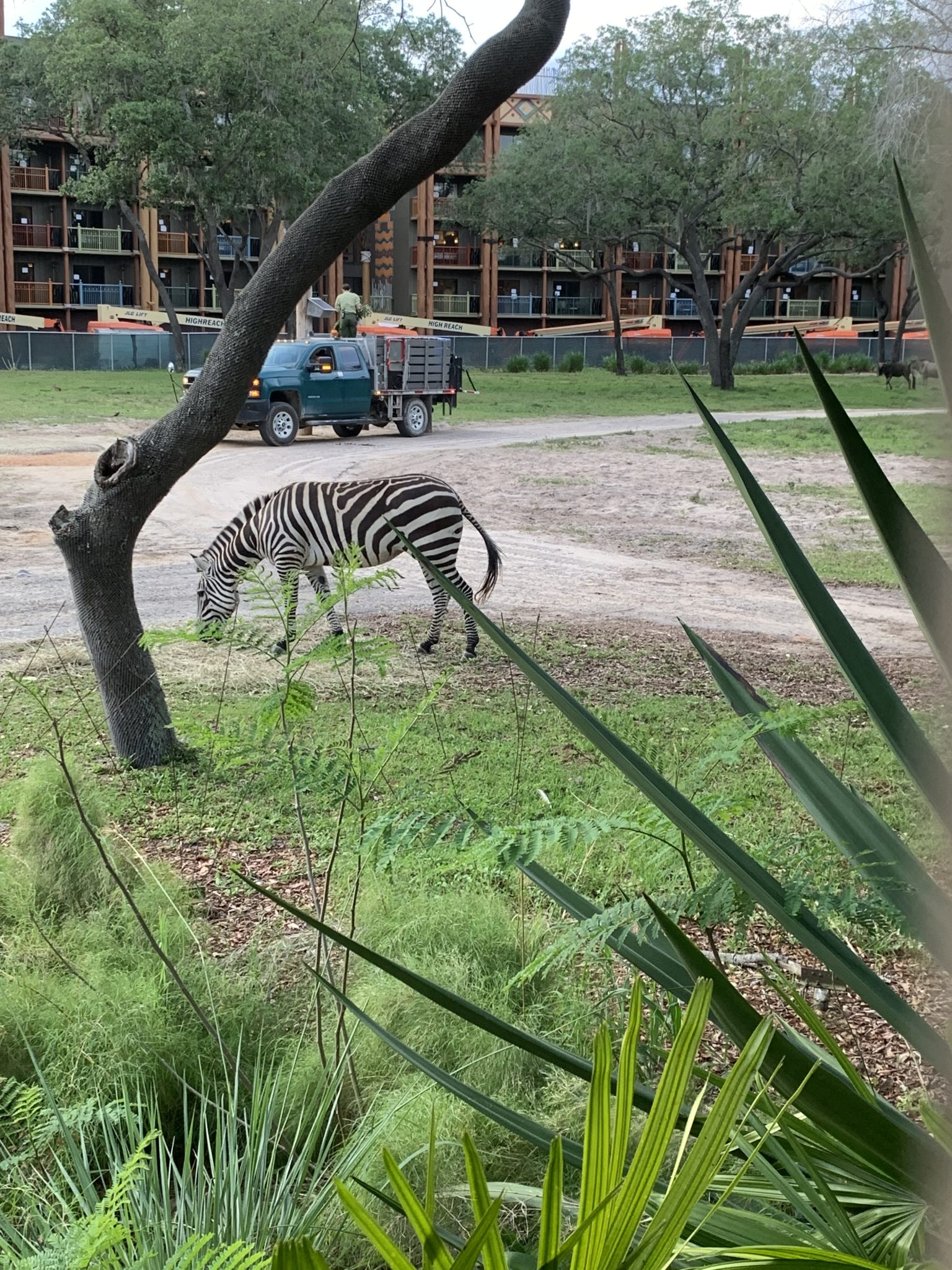 zebra on the savannah at Animal Kingdom Lodge